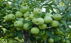 برداشت سیب درختی در بشاگرد
