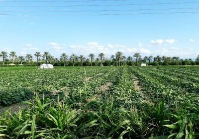 مزرعه های هشتبندی (میناب) به روایت تصویر