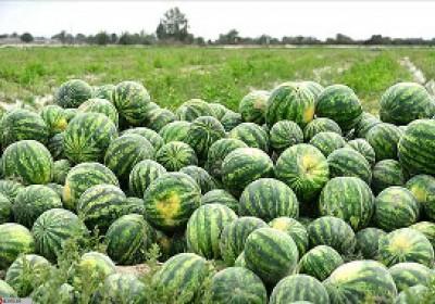 هندوانه رودبار جنوب وارد بازار شد