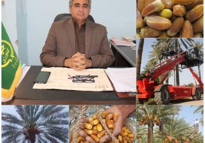 تولید بیش از ۲۰۸ هزارتن خرما در جنوب کرمان