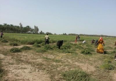 برداشت محصول حنا در شهرستان رودبار جنوب آغاز شد
